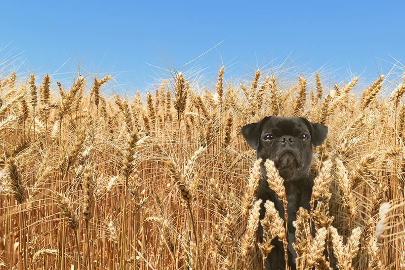 Wieso weizenfreies Hundefutter sinnvoll sein kann